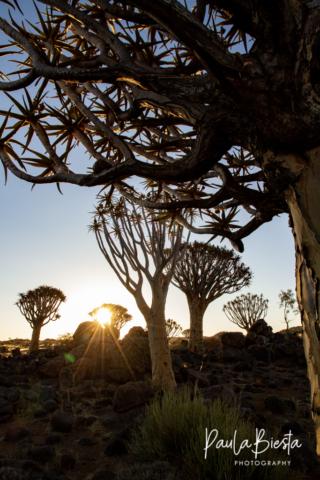 Quiver Tree Forest - Namibië - Juli 2017