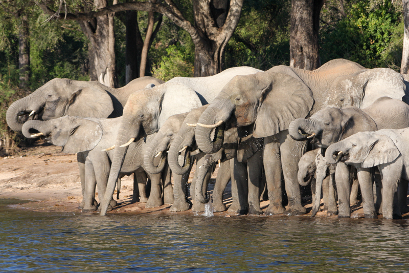 Olifanten langs de Chobe Rivier