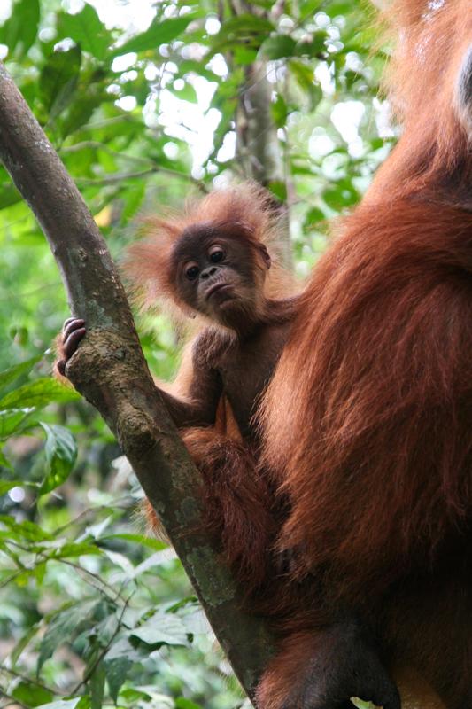 Aapjes kijken in de jungle van Bukit Lawang
